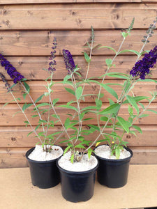 3 Buddleia davidii 'Black Knight' Apx 20cm Tall - 10.5cm Pots Buddleja Butterfly Bush