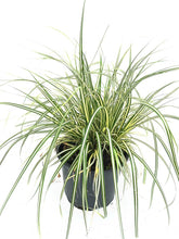 Load image into Gallery viewer, 3 Carex Evergreen Ornamental Grass (Seconds) - Evergreen Sedge Grass - oshimensis 'Evergold'