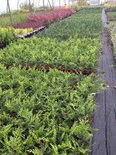 Load image into Gallery viewer, 20 Gold Leylandii Hedging - Leyland cypress apx 20-30cm Tall