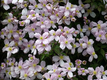 Load image into Gallery viewer, 2 Clematis Montana Rubens - Climbing Plant - Apx 2-3ft in 2L Pot