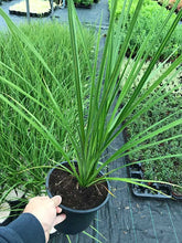 Load image into Gallery viewer, 2 Cordyline australis Evergreen Palm - approx 40-60cm tall in a 2L Pot
