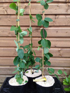 3 Henry's Honeysuckle Lonicera 'henryi' - Evergreen - Apx 2-3ft - Climber 2L Pots