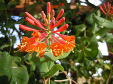 Load image into Gallery viewer, 3 Henry's Honeysuckle Lonicera 'henryi' - Evergreen - Apx 2-3ft - Climber 2L Pots