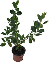 Load image into Gallery viewer, 10 Escallonia Rubra Macrantha Evergreen Hedging Plants apx 30cm Tall