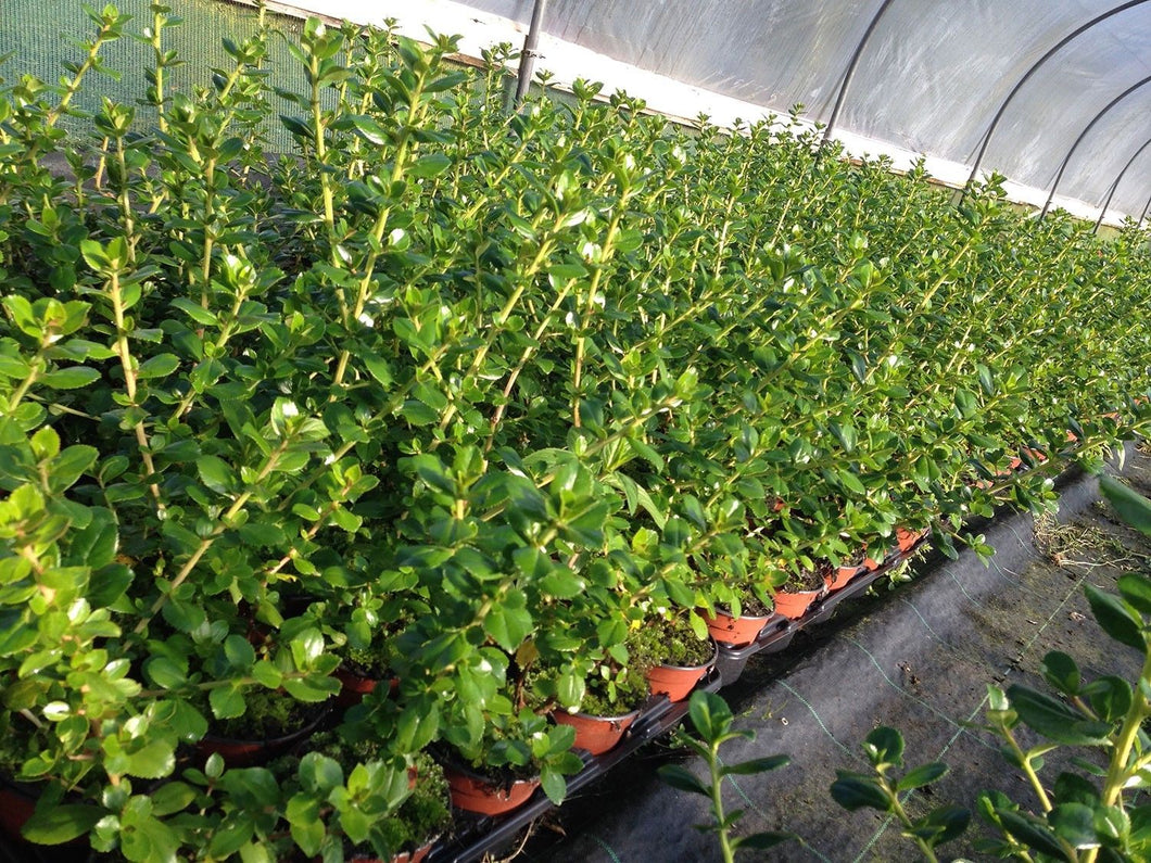 Macrantha Escallonia Hedging