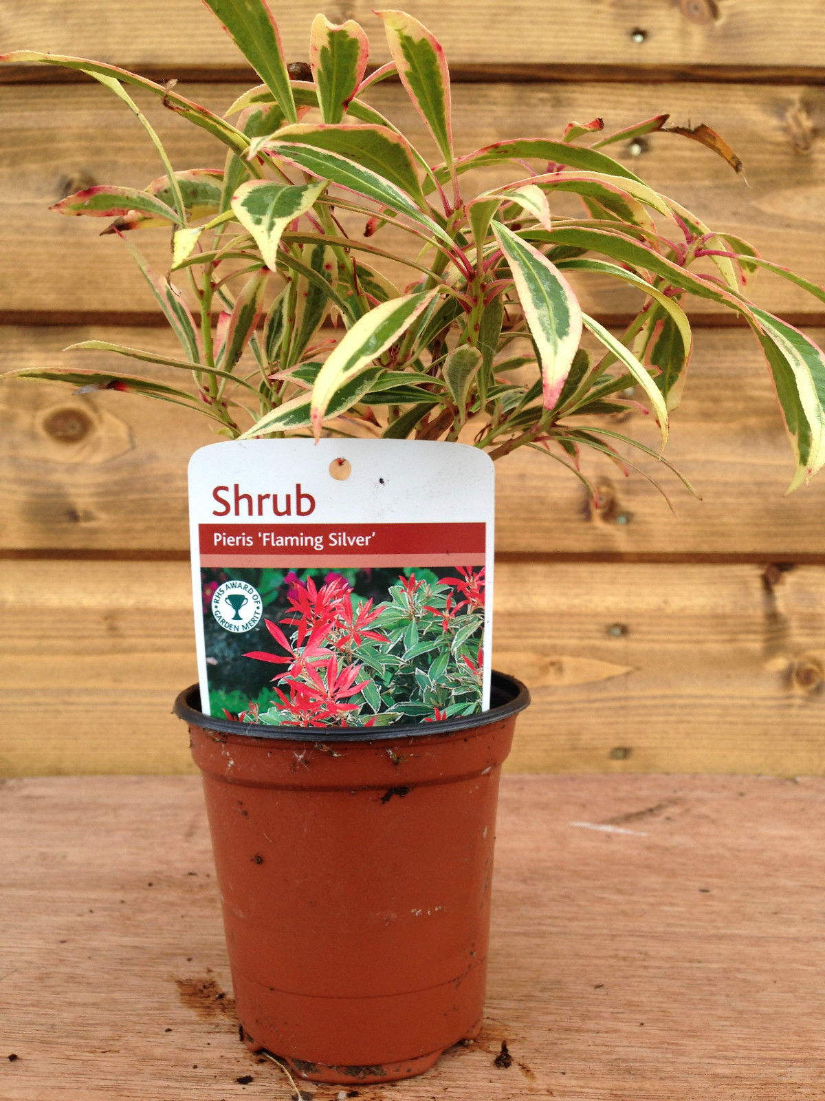 5  individual  Quick growing shrubs in 10.5cm pots