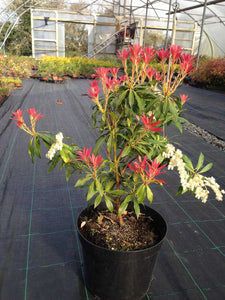 1 Pieris 'Forest Flame' Shrub - Mature Plant - 2-3ft - 5 Litre Pot - 4yrs Old
