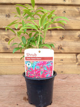 Load image into Gallery viewer, 5 Mixed Shrubs - Well Established in Pots - Great Value - 10.5cm Pots