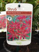 Load image into Gallery viewer, 2 Pieris 'Forest Flame' (Seconds) Shrub in Large 2L Pots
