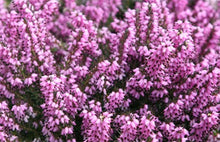 Load image into Gallery viewer, 10 Mixed Heather - Winter Flowering, Ground Cover - Red, Pink, Purple, White