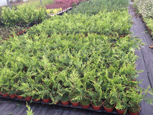 15 Gold Leylandii Hedging - Leyland cypress apx 20-30cm - With Support Canes