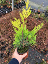 Load image into Gallery viewer, 10 Gold Leylandii Hedging - Leyland cypress apx 20-30cm Tall