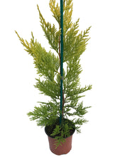 Load image into Gallery viewer, 25 Gold Leylandii Hedging - Leyland cypress apx 30cm - With Support Canes