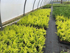 20 Gold Leylandii Hedging - Leyland Cypress apx 30cm - With Support Canes