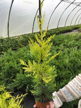 Load image into Gallery viewer, 20 Gold Leylandii Hedging - Leyland Cypress apx 30cm - With Support Canes