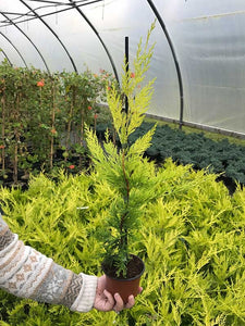 25 Gold Leylandii Hedging - Leyland cypress apx 30cm - With Support Canes
