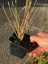 Load image into Gallery viewer, 3 Calamagrostis acutiflora 'Karl Foerster' - 9cm Pots - Feather Reed-Grass