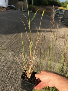 3 Calamagrostis acutiflora 'Karl Foerster' - 9cm Pots - Feather Reed-Grass