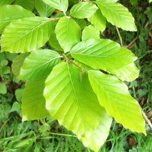 Load image into Gallery viewer, 100 Green Beech Hedging Plants approx 2ft, Fagus sylvatica - Grade A Stock