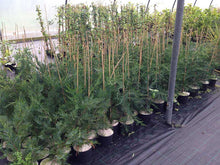 Load image into Gallery viewer, 10 Green Leylandii / Leyland Cypress Hedging 2L Pots - 40-60cm Tall