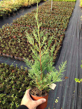 Load image into Gallery viewer, 40 Green Leylandii / Leyland Cypress Hedging apx 30-45cm - With Support Canes