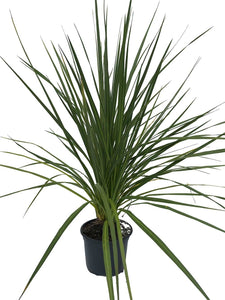 1 Cordyline australis Evergreen Palm - approx 40-60cm tall in a 2L Pot