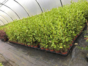 10 Griselinia Hedging Plants - New Zealand Laurel - apx 35-50cm Tall in Pots