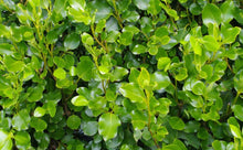 Load image into Gallery viewer, 10 Griselinia Hedging Plants - New Zealand Laurel - apx 35-50cm Tall in Pots