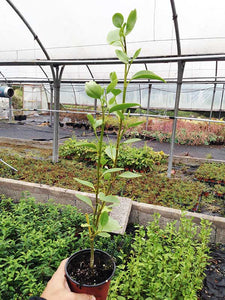 25 Griselinia Hedging Plants - New Zealand Laurel - apx 35-50cm Tall in Pots