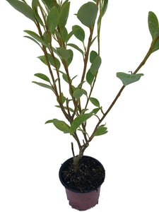 50 Griselinia Hedging Plants - New Zealand Laurel - apx 35-50cm Tall in Pots