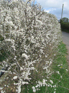 100 Hawthorn Hedging 30-50cm,Crataegus, Quickthorn,Whitethorn,Native Hedge