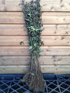 25 Hawthorn Hedging 40-60cm,Crataegus, Quickthorn,Whitethorn,Native Hedge