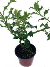 Load image into Gallery viewer, 20 Holly Hedging Plants - Ilex Aquifolium - Evergreen - apx 20-30cm in Pots