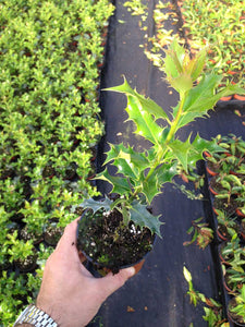 25 Holly Hedging Plants - Ilex Aquifolium - Evergreen - apx 30cm in Pots