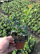 Load image into Gallery viewer, 40 Holly Hedging Plants - Ilex Aquifolium - Evergreen - apx 20cm in Pots