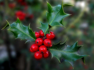 40 Holly Hedging Plants - Ilex Aquifolium - Evergreen - apx 20-30cm in Pots