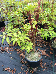 2 Pieris 'Forest Flame' (Seconds) Shrub in Large 2L Pots