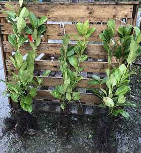 5 Cherry Laurel Hedging - 2-3ft Multi-Stem - Grade A - Prunus Rotundifolia