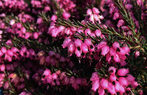 10 Mixed Heather - Winter Flowering, Ground Cover - Red, Pink, Purple, White