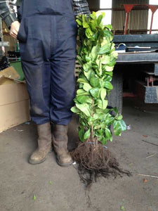 Bare root Laurel 2-3 ft