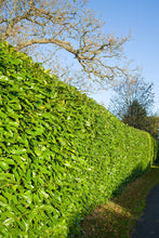 Load image into Gallery viewer, 15 Cherry Laurel Hedging - Apx 4ft (120cm) - Prunus Rotundifolia - Grade A