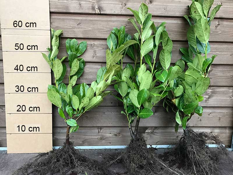 10 Cherry Laurel Hedging - 40-60cm - Grade A - Bushy - Prunus Rotundifolia