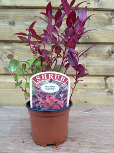 5 Mixed Shrubs - Well Established in Pots - Great Value - 10.5cm Pots