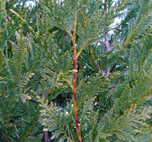 Load image into Gallery viewer, 10 Green Leylandii / Leyland Cypress Hedging apx 30-45cm - With Support Canes