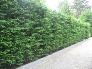 10 Green Leylandii / Leyland Cypress Hedging apx 30-45cm - With Support Canes