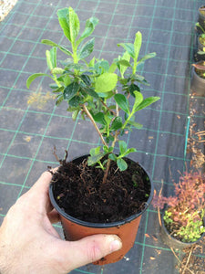 10 Escallonia Rubra Macrantha Evergreen Hedging Plants apx 30cm Tall