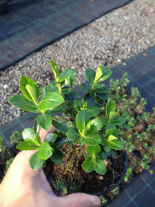 25 Escallonia Rubra Macrantha Evergreen Hedging Plants apx 30cm Tall