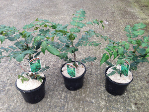 2 Mahonia x media 'Charity' - Winter Flowering Shrub 2L Pots