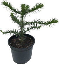 Load image into Gallery viewer, Monkey Puzzle Tree (Araucaria araucana) - 4 Years Old - 2L Pot - Great Gift