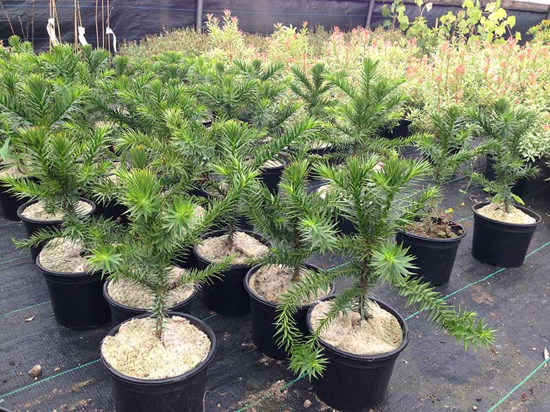 Monkey Puzzle Tree (Araucaria araucana) - 4 Years Old - 2L Pot - Great Gift